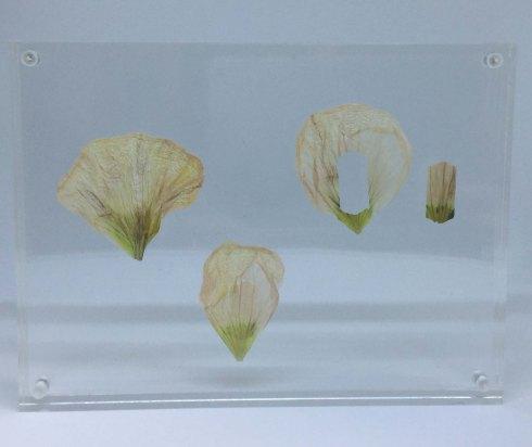 passiflora-comfort